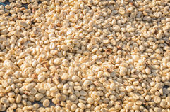 Fresh  coffee bean waiting for drying. Royalty Free Stock Photo