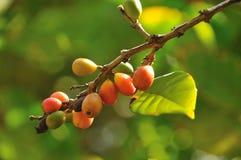 Fresh coffee beans Royalty Free Stock Photo