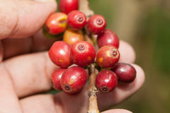 Fresh coffee beans Stock Images