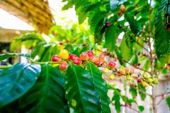 Fresh Coffee Beans and Coffee tree royalty free stock photography