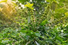 Fresh coffee beans in the farm royalty free stock photo