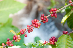 Fresh coffee beans in plants tree,fresh arabica coffee fruits Royalty Free Stock Image