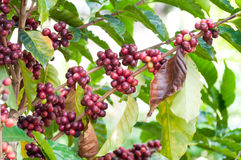 Fresh coffee beans in plants tree,fresh arabica coffee fruits Royalty Free Stock Photo