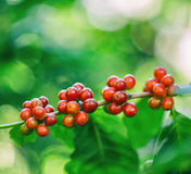 Fresh coffee beans on tree Royalty Free Stock Photography