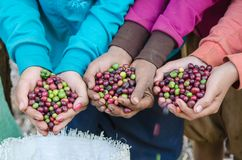 Fresh coffee berries. Coffee berries on agriculturist hands Stock Image
