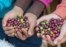 Fresh coffee berries. Coffee berries on agriculturist hands Royalty Free Stock Photos