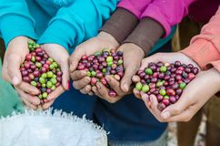 Fresh coffee berries. Coffee berries on agriculturist hands Stock Photography