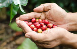 Fresh coffee berries in hands. Red fresh coffee berries in hands Royalty Free Stock Photography