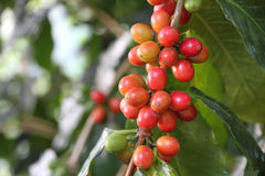 Fresh coffee cherries Royalty Free Stock Photography