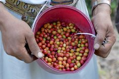 Fresh coffee harvested by Yemeni farmer. Royalty Free Stock Photography