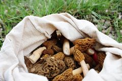 Fresh colected morels. Royalty Free Stock Images