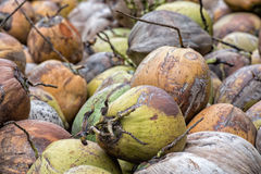 Fresh collected coconut close up detail in Bali Royalty Free Stock Images
