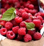 Fresh collected raspberries in the basket. Fresh collfresh collected raspberries in the  basket Stock Image
