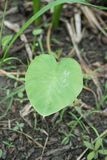 Fresh colocasia esculenta leaves Royalty Free Stock Photo
