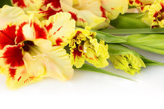 Fresh colorful gladiolus isolated  horizontal Royalty Free Stock Photography