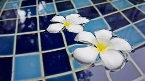 Beautiful Plumeria flowers floating on swimming pool background. Fresh and colorful photo that can make you feels like your vacation time will coming soon stock photo