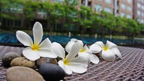 Beautiful Plumeria flowers on the flore with building background. Fresh and colorful photo that can make you feels like your vacation time will coming soon royalty free stock image