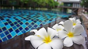Beautiful Plumeria flowers near the pool with building background. royalty free stock photo