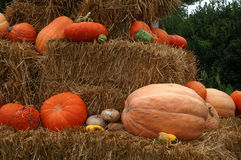 Fresh Colorful Pumpkins. Closeup of colorful, fresh from the field, pumpkins stacked on hay bales awaiting transformation into Jack-O-Lanterns or pies Stock Photos