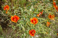Fresh colorful shades of orange poppy wild flower along walking trail in red valley with green leaves background, selective focus. Cappadocia, Turkey royalty free stock photo