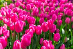 Fresh colorful tulip with bokeh background. Fresh Spring Composition Stock Photos