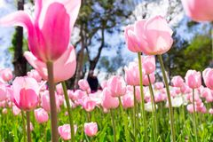 Fresh colorful tulip with bokeh background. Fresh Spring Composition Royalty Free Stock Image