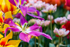 Fresh colorful tulip flowers in sunny spring day Stock Image