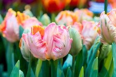 Fresh colorful tulip flowers in sunny spring day Stock Photo