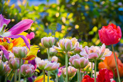 Fresh colorful tulip flowers in sunny spring day Stock Photos