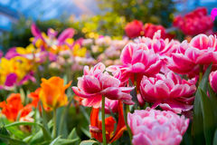 Fresh colorful tulip flowers in sunny spring day Royalty Free Stock Photo