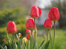 Fresh colorful tulips. Beautiful spring flowers growing in the garden. Royalty Free Stock Photo