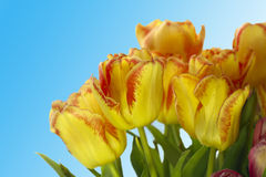 Fresh colorful tulips on blur background. Fresh colorful tulips isolated on blur background Stock Photo