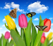 Fresh colorful tulips. With butterflies Royalty Free Stock Image