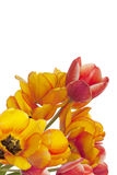 Fresh Colorful Tulips On White Background Stock Photography