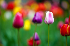 Fresh colorful tulips in the park Royalty Free Stock Images
