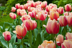 Fresh colorful tulips Royalty Free Stock Images