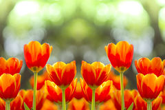 Fresh colorful tulips in warm sunlight Stock Image
