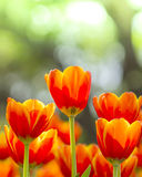 Fresh colorful tulips in warm sunlight Stock Images