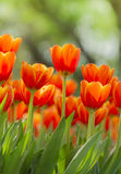 Fresh colorful tulips in warm sunlight Royalty Free Stock Images