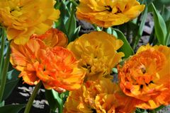Fresh colorful tulips in warm sunlight may. Beautiful orange and yellow flowers in springtime. Close-up of color tulips. Spring flowers background Stock Photo