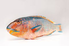 Fresh colourfull Parrotfish on white