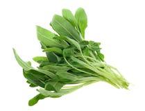 Fresh common sage herb Stock Photos