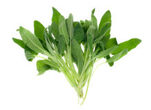Fresh common sage herb. Isolated on a white background stock image