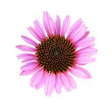 Fresh cone flower Royalty Free Stock Photo