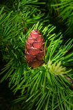 Fresh cone on a larch Royalty Free Stock Image