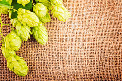 Fresh cones on burlap. Hop cones on burlap close up. Ingredients for beer production stock photography