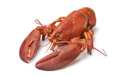 Fresh cooked lobster Stock Images