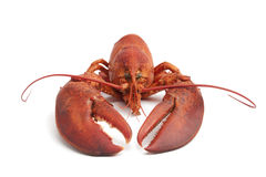 Fresh cooked lobster Royalty Free Stock Photos