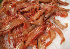 Fresh Cooked Shrimp on Ice. A large pile of peel and eat shrimp chilled Stock Photography