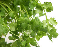 Fresh Coriander. (aka cilantro, chinese parsley) on a white background. Short DOF, focus on central leaves Royalty Free Stock Images